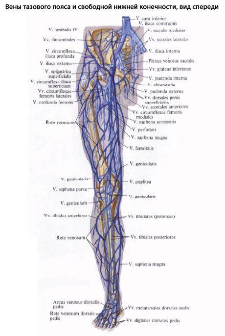 Анатомия сосудистой системы
