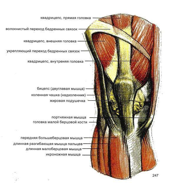 Схема строения мышц коленного