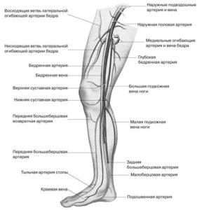 Строение венозного сосуда ног