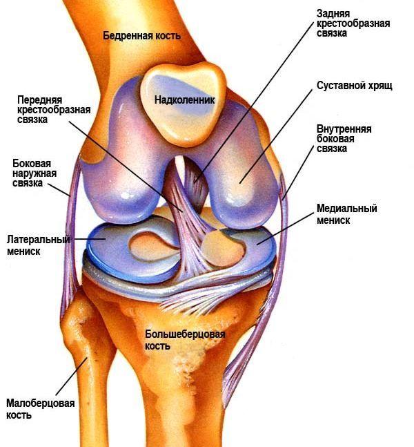 Схема строения коленного