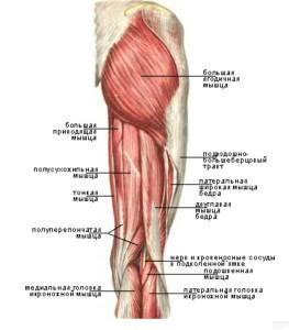 Задняя группа мышц бедра