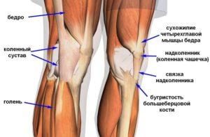 Мышечные структуры коленного сустава человека