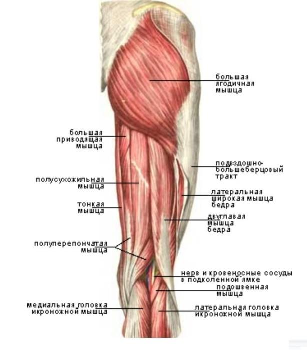 сосуды бедра анатомия