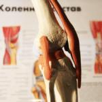 Муляж строения коленного сустава