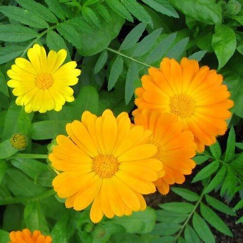 Цветки календулы при травме ноги в щиколотке