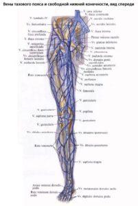 Анатомия сосудистой системы нижних конечностей человека