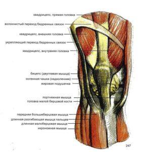 Мышцы колена
